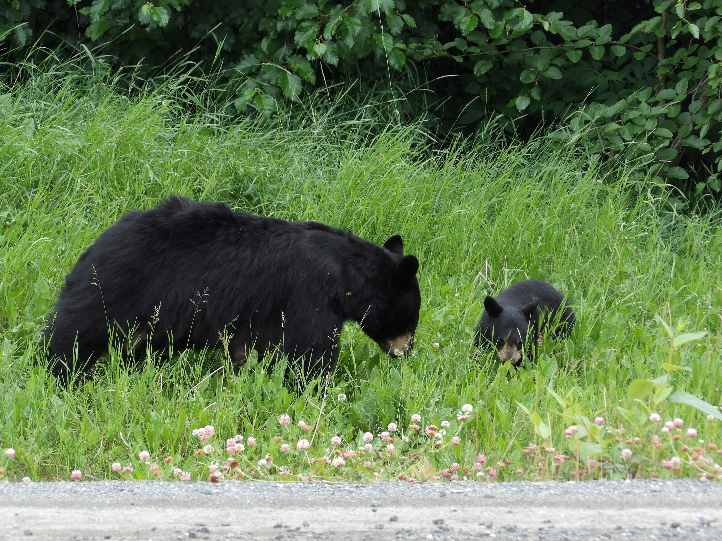 Mama Blackie with a cub Jul 2018